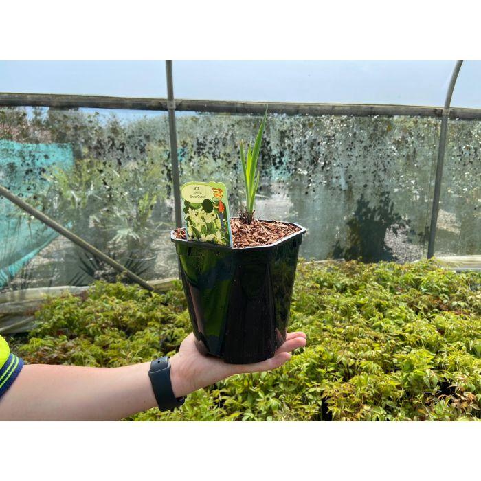 Iris sib. Snow Queen 2 Litre Pot