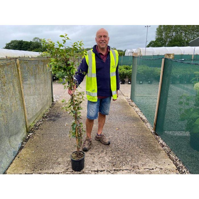 Trachelospermum Jasminoides 3 Litre Pot 125/150 x 5 Plants