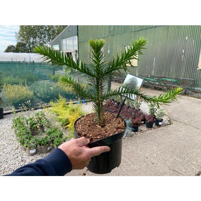Araucaria Araucana 3 Litre Pot 30cm