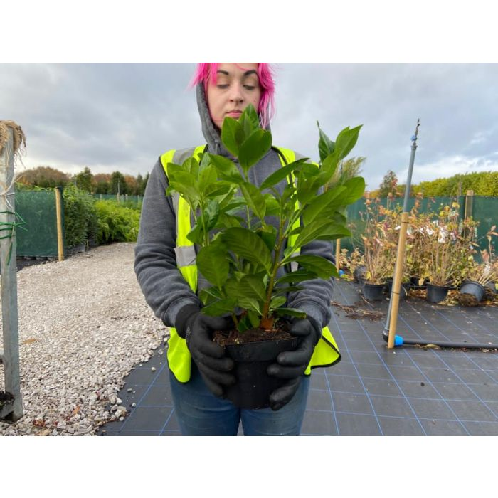 Laurel Hedging Cherry Laurel 2 Litre 30-40cm