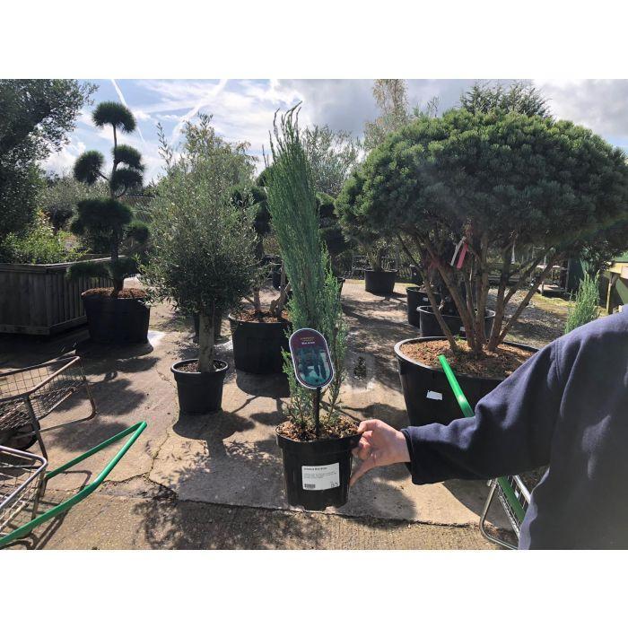 Juniperus Blue Arrow 2.5 Litre Pot