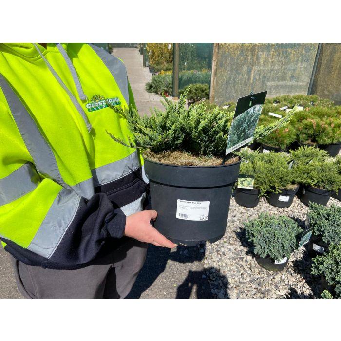 Juniperus Blue Chip 7.5 Litre Pot