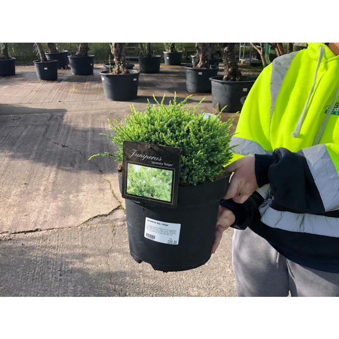 Juniperus sq. Holger 7.5 Litre Pot