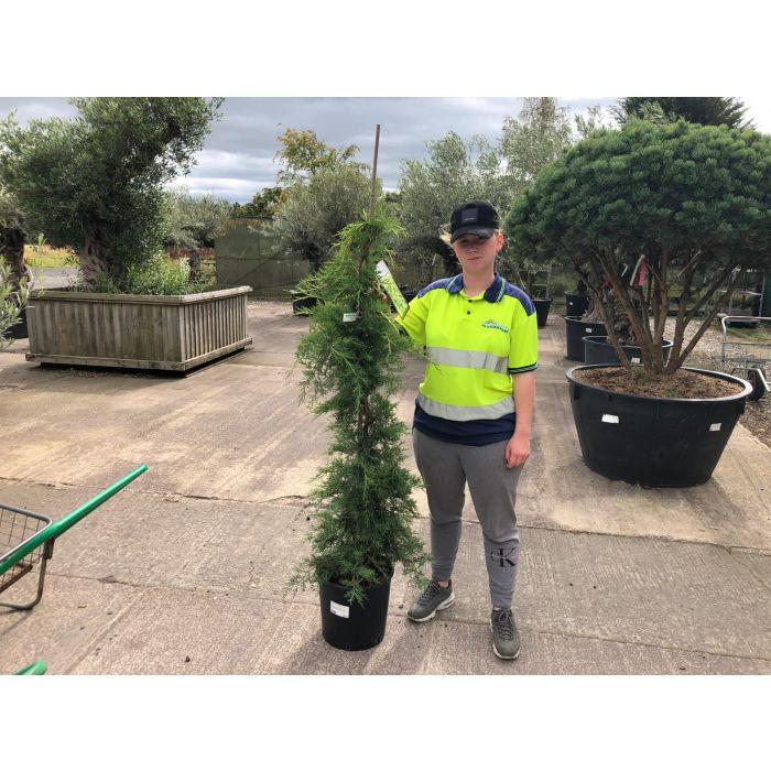 Juniperus pf. Pfitz Aurea 15 Litre Pot