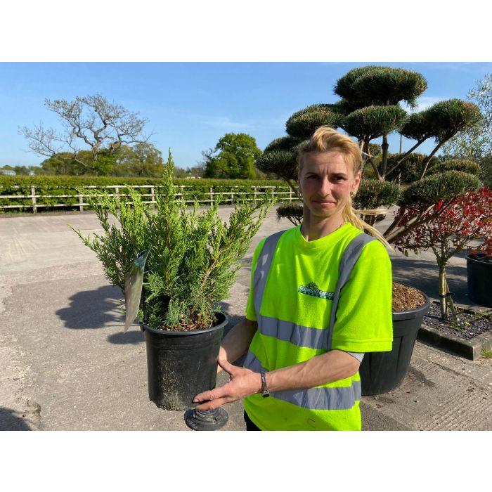 Juniperus Mint Julep 4.5 Litre Pot