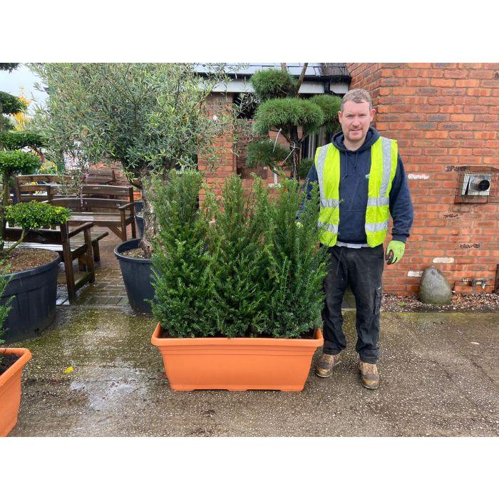 English Yew Planted Screen 1 metre long x 1.4 Metre