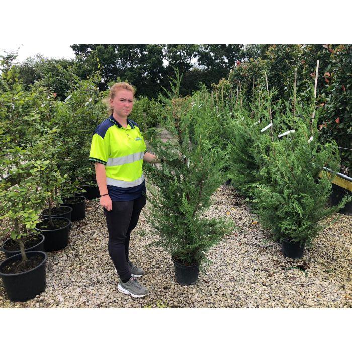 Green Leylandii Hedging 7 Litre Pot 140/150cm