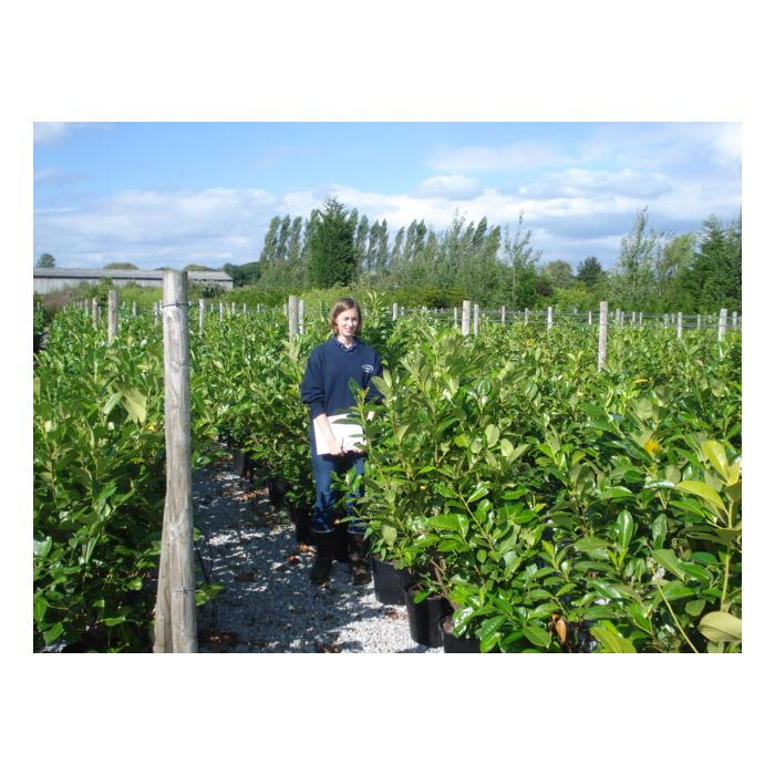 Laurel Hedging 15/20 Litre 100-125cm