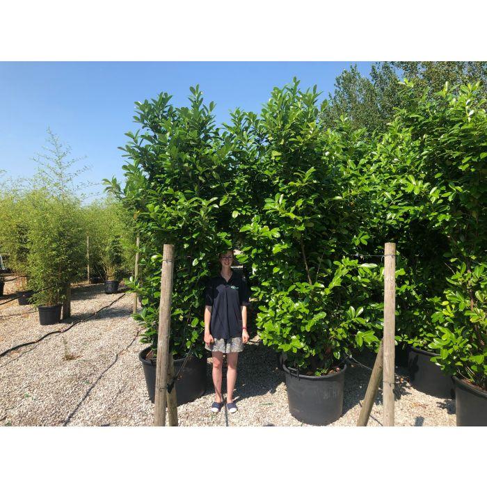 Cherry Laurel Specimen 270/280 cm 130 Litre Potted