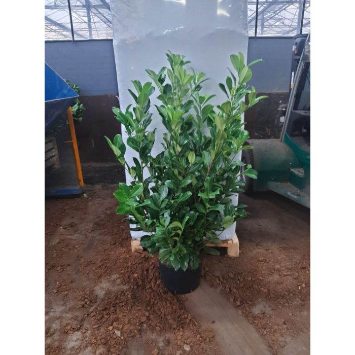 Laurel Hedging 25 Litre Pot 160/180cm New Seasons