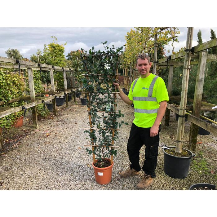 Trachelospermum Jasminoides Wall Frame 150cm x 50cm 15 Litre Pot