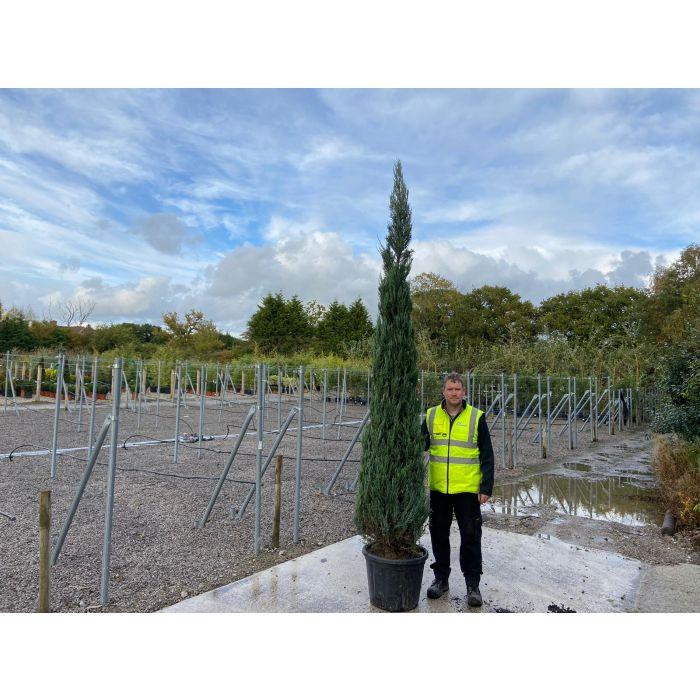 Juniperus Blue Arrow 35 Litre Pot 250/300cm