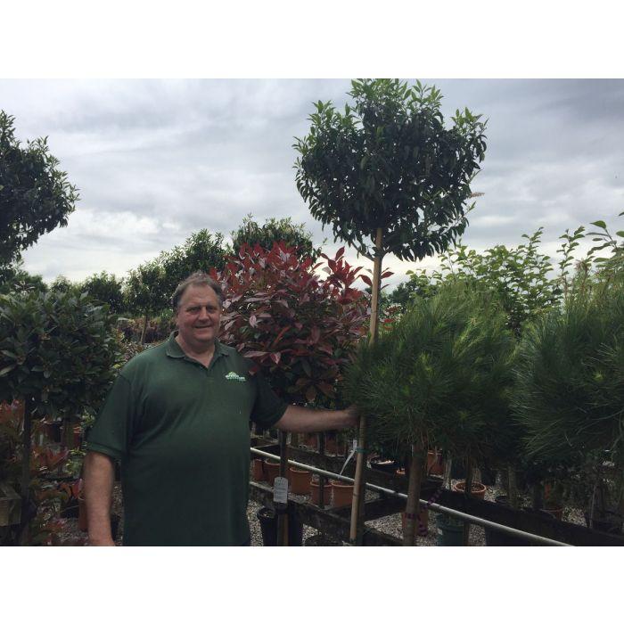 Prunus Lusitanica Myrtifolia Full Standard 20 Litre Pot 10/12G
