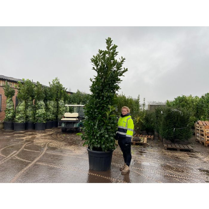 Laurel hedging 250-280cm Super Wide Root Ball New Potted