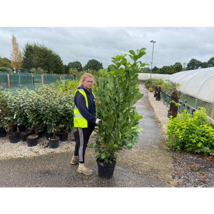 Laurel Hedging 15 Litre Pot 150-170cm