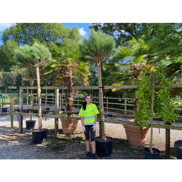 Pinus Pinea Full Standard 16-18 cm Girth 60 Litre Pot