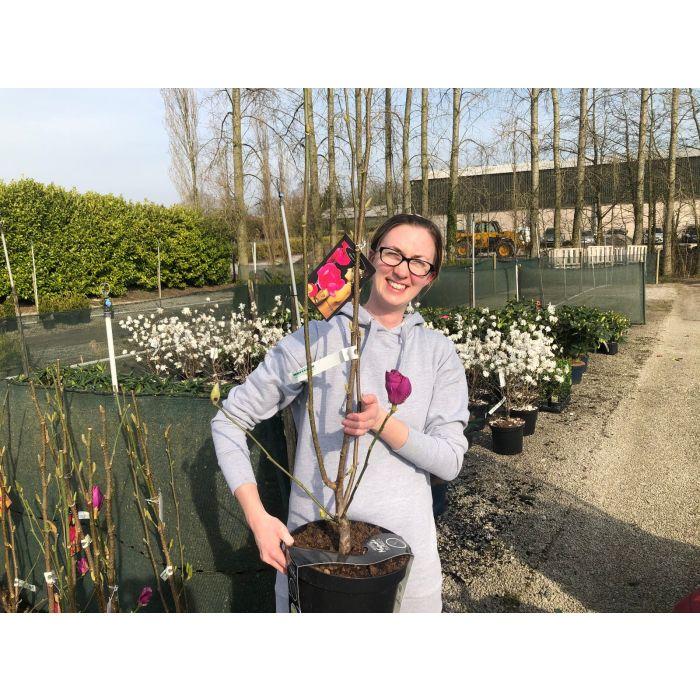 Magnolia Cleopatra 7.5 Litre Pot