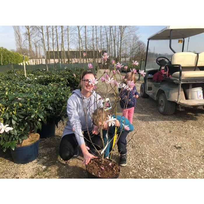 Magnolia loeb. Leonard Messel 12 Litre Pot