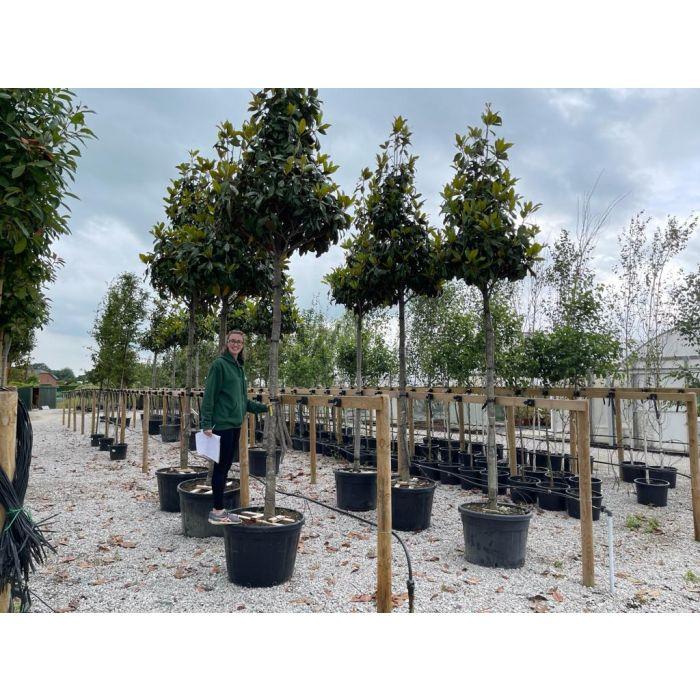 Magnolia Grandiflora Gallisoniensis Heavy Standard 20/25 cm Girth