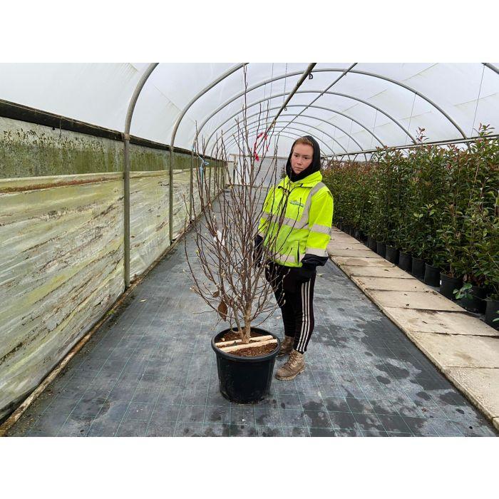 Magnolia loeb. Leonard Messel 35 Litre Pot 150/175cm