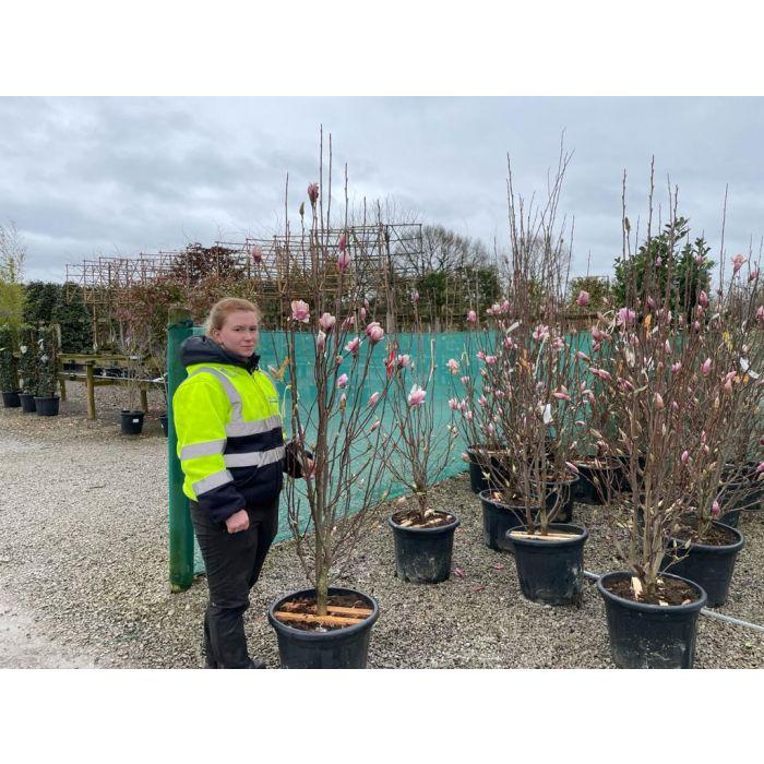 Magnolia Soulangeana 35 Litre Pot 150/200cm