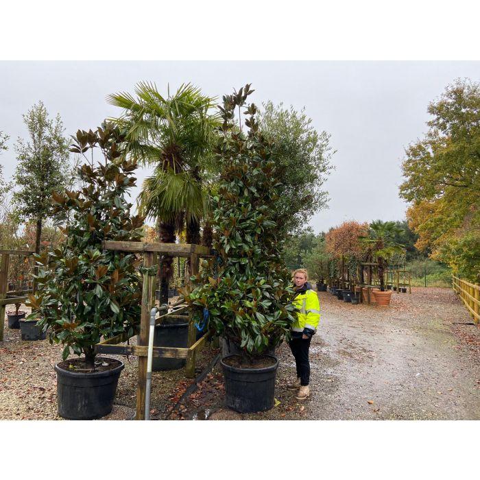 Magnolia Grandiflora Cone 110 Litre Pot 2.5 - 3 Metre