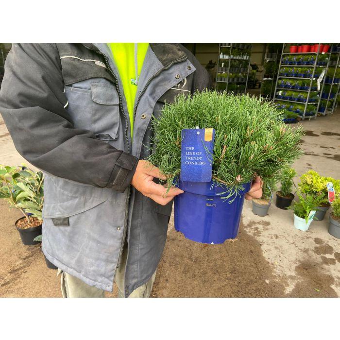Pinus Mugo Pumilio 5 Litre Pot