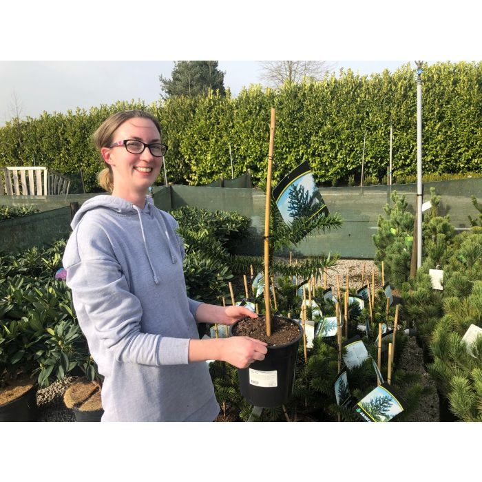 Araucaria Araucana 7.5 Litre Pot 40-50cm