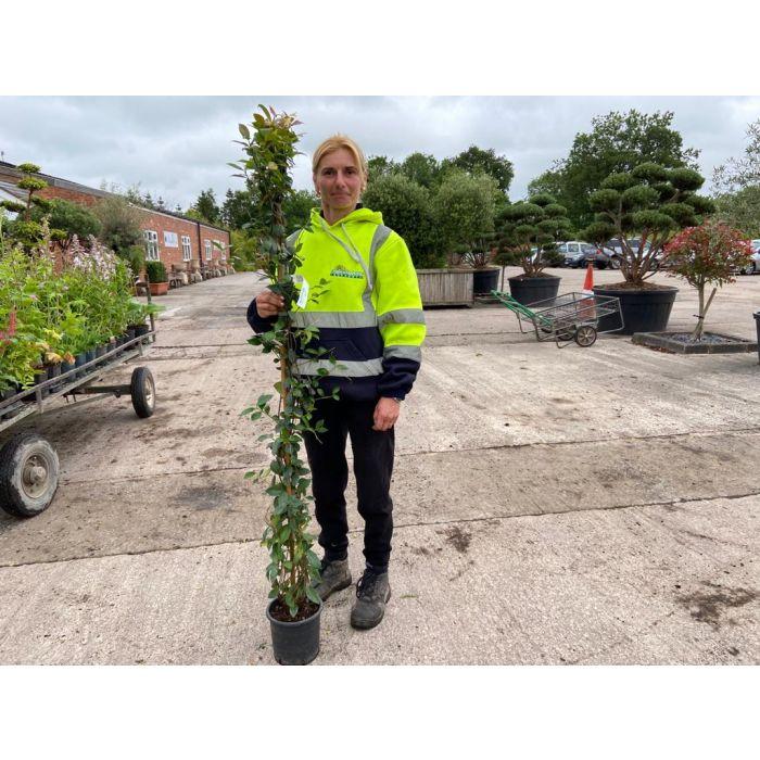 Trachelospermum Jasminoides 3 Litre Pot 180/200cm x 5 Plants
