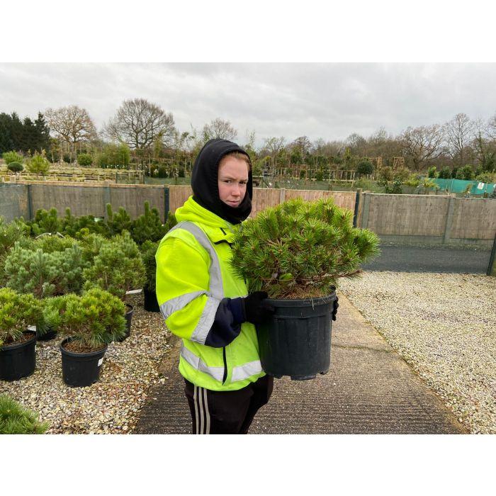 Pinus de. Low Grow 15 Litre Pot