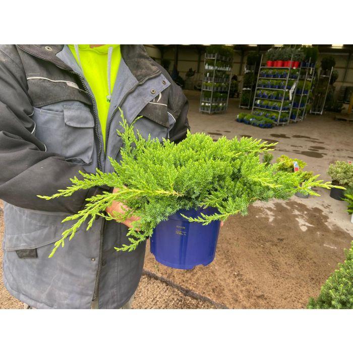 Juniperus Pr. Nana 5 Litre Pot