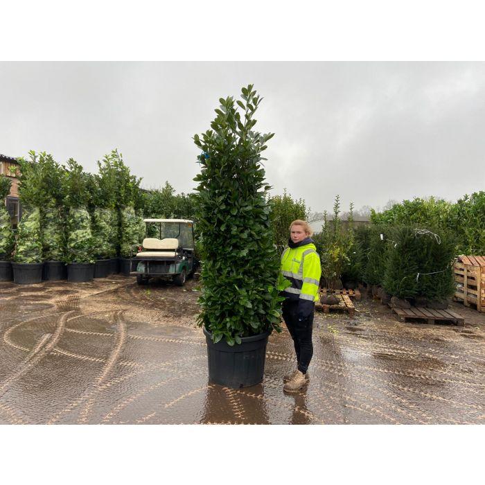 Laurel hedging 210-230cm Super Wide Root Ball Dug to Order