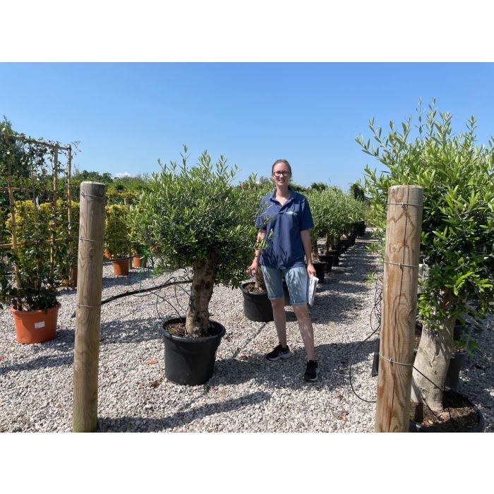Olive Extra Heavy Tree