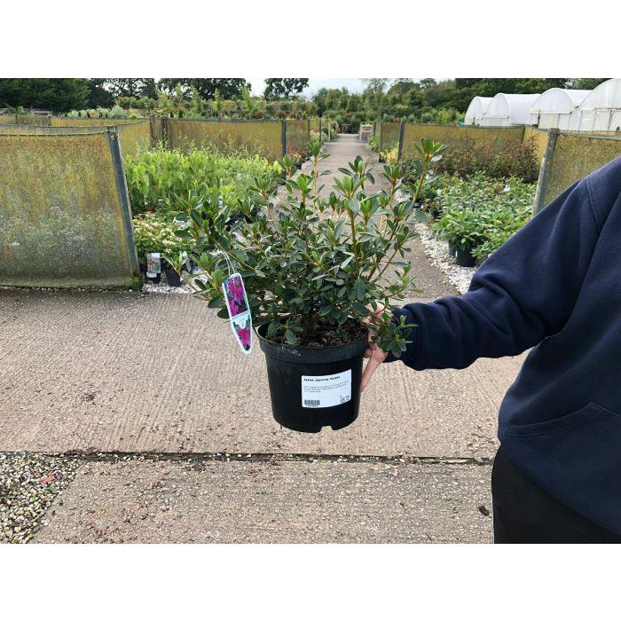 Azalea Japonica Violetta 2 Litre Pot