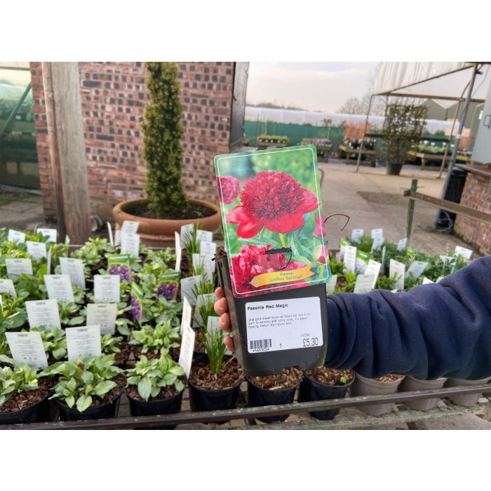 Paeonia Red Magic 11cm Pot