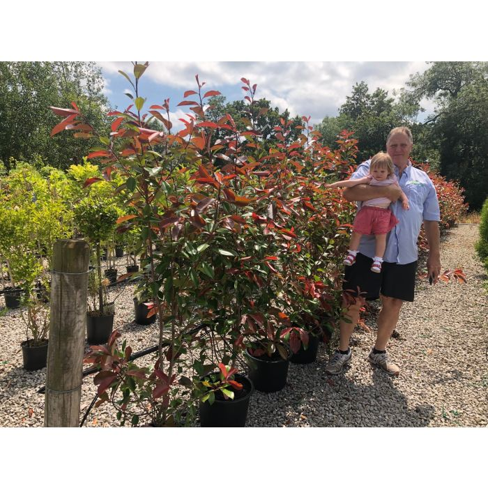 Photinia Red Robin 15 Litre Pot 150-160cm