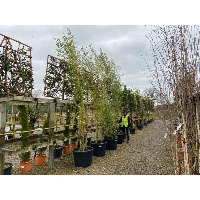 Bamboo Phyllostachys Aurea 4-4.5m 110 Litre Pot