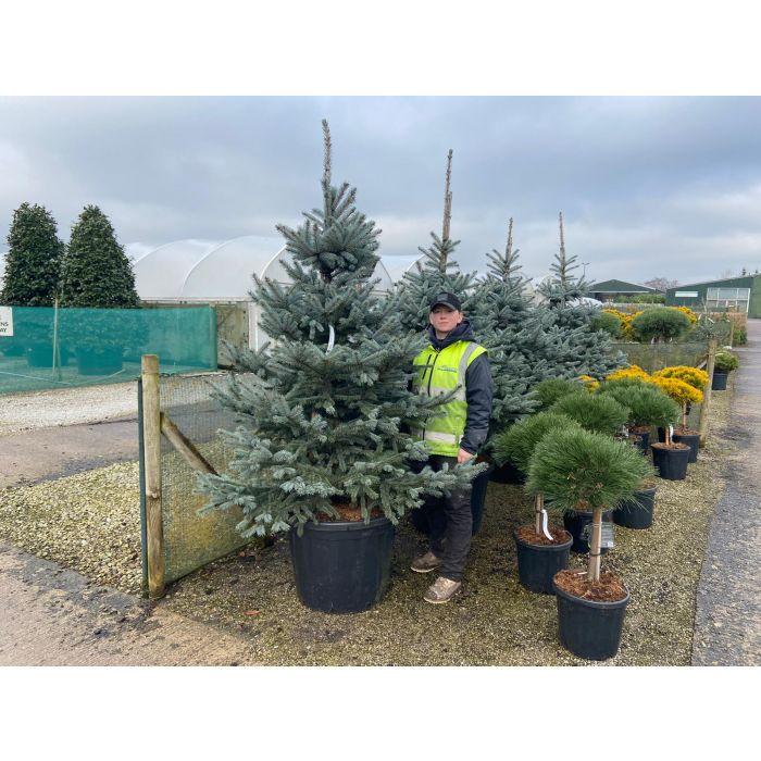 Picea Pungens Fat Albert 110 Litre Pot 2m Specimen