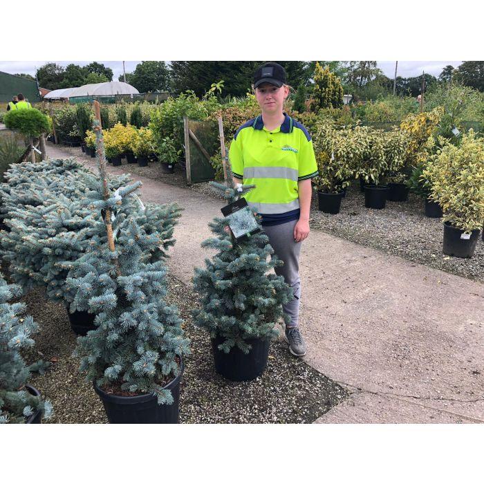 Picea Pungens Koster 30 Litre Pot