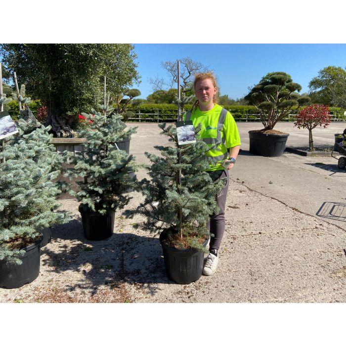 Picea Pungens Blue Diamond 30 Litre Pot