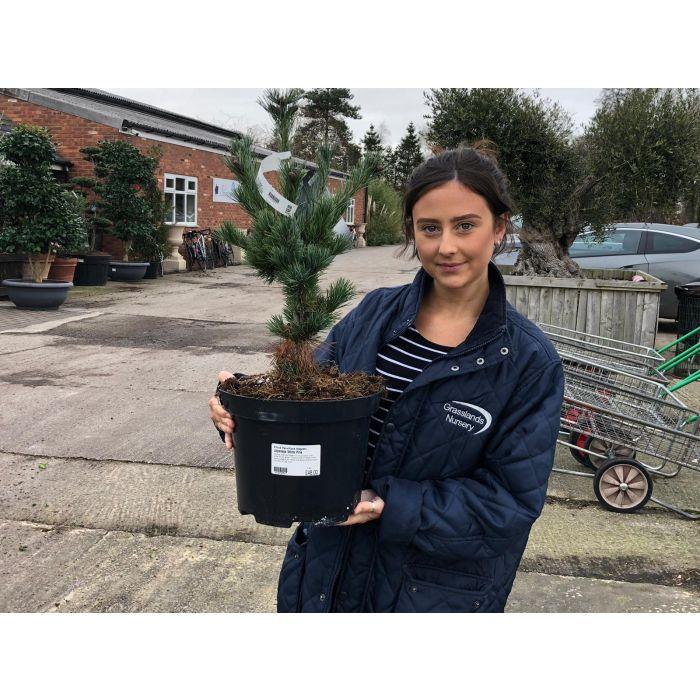 Pinus Mugo Negishii 7.5 Litre Pot