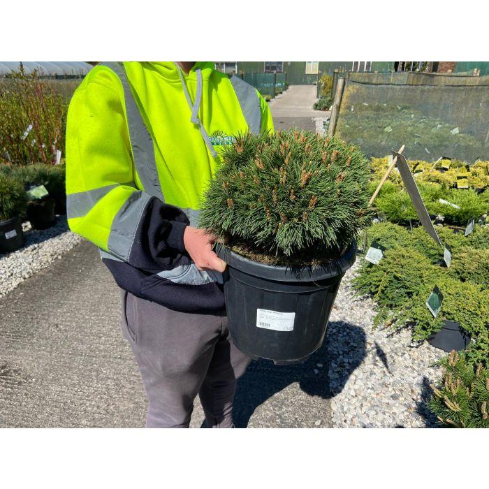 Pinus mugo Benjamin 12 Litre Pot