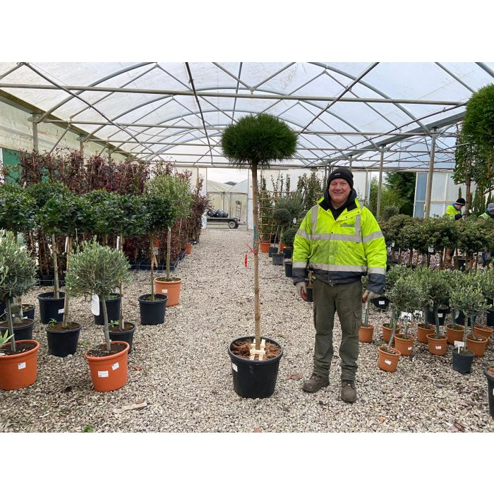 Pinus Breviflora 3/4 Standard 150cm Stem