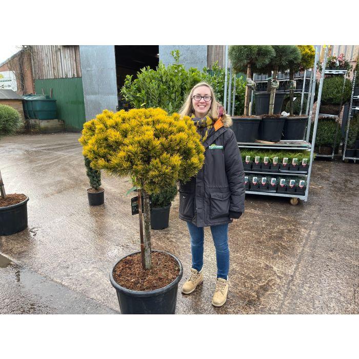 Pinus Mugo Wintergold 1/2 Std 65 Litre Pot