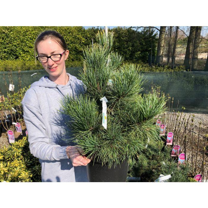 Pinus Cembra 7.5 Litre Pot
