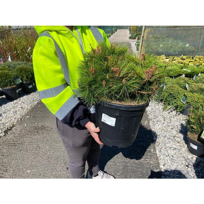 Pinus de. Low Glow 15 Litre Pot