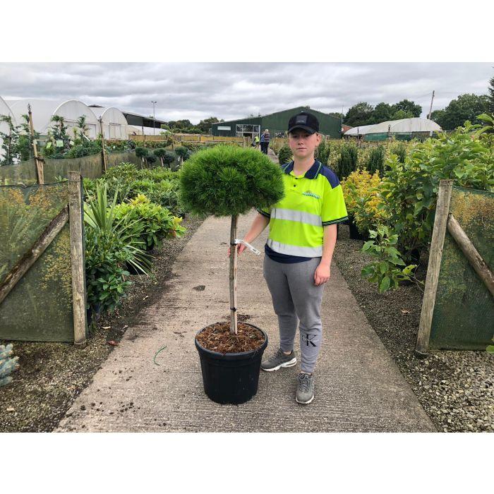 Pinus de. Low Grow 25 Litre Pot Half Standard
