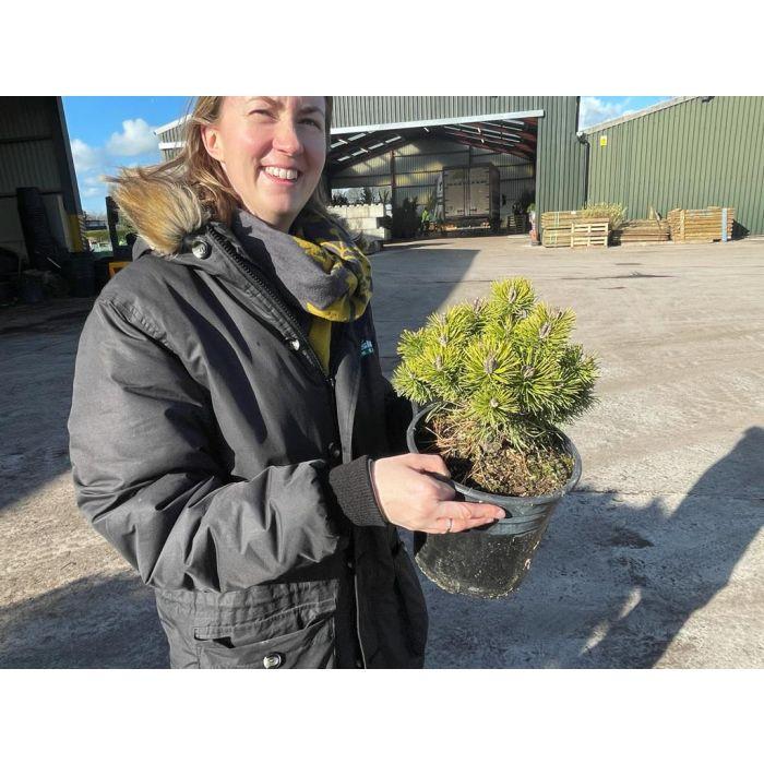 Pinus Mugo Mops 4.5 Litre Pot