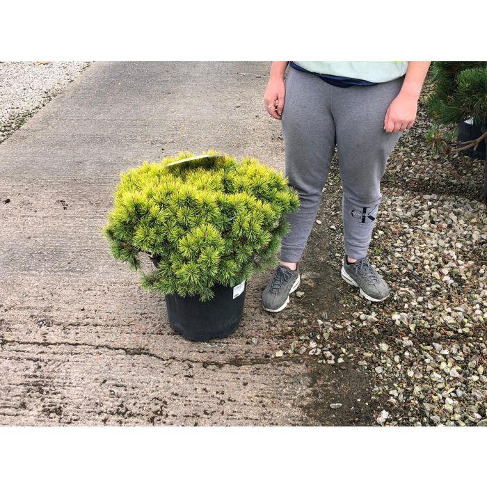 Pinus mugo Ophir 20 Litre Pot