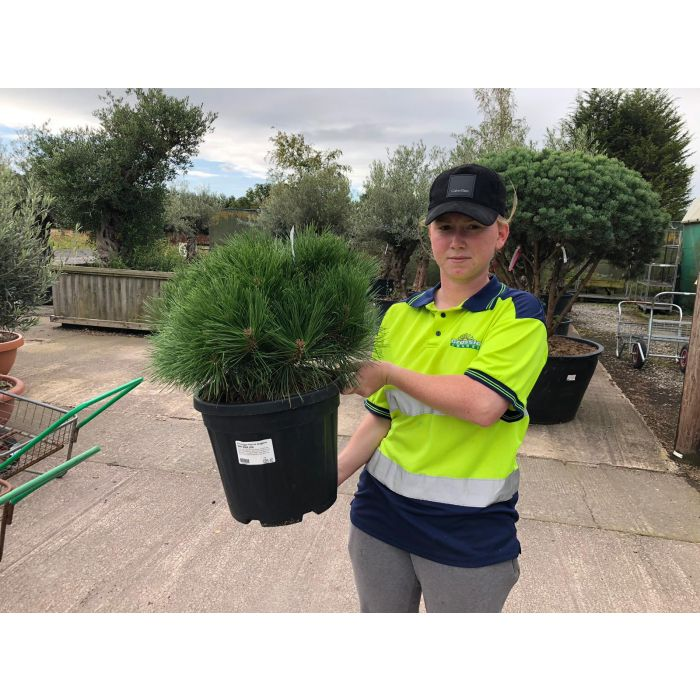 Pinus Nigra Pierrick Bregeron 15 Litre Pot